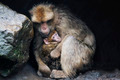 Monkey Protecting Her Child - PhotoDune Item for Sale