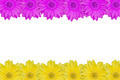 Pink and yellow daisy frame isolated on white background - PhotoDune Item for Sale