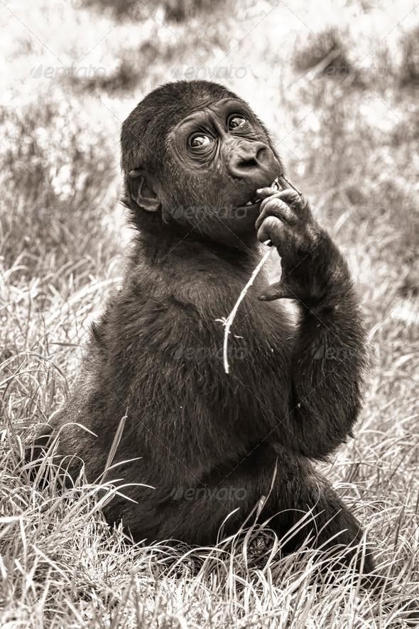 PhotoDune gorilla baby sepia 3653927