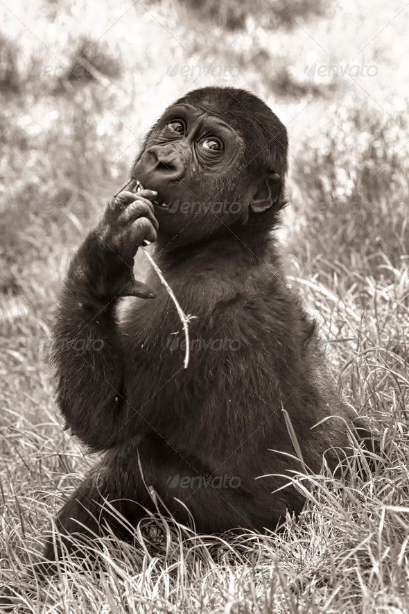 PhotoDune gorilla baby sepia 3653929
