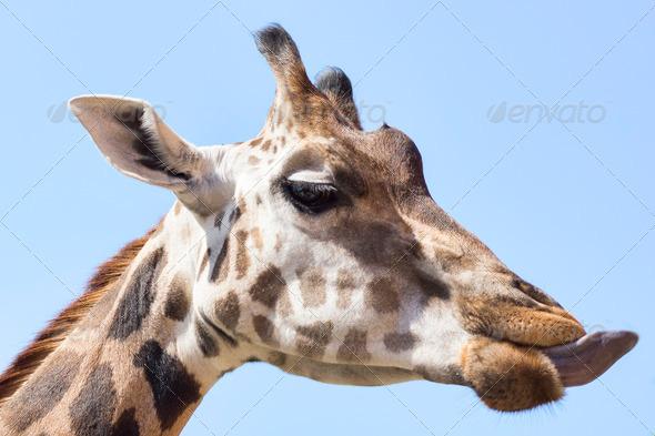 PhotoDune portrait photo of the giraffe 3653938