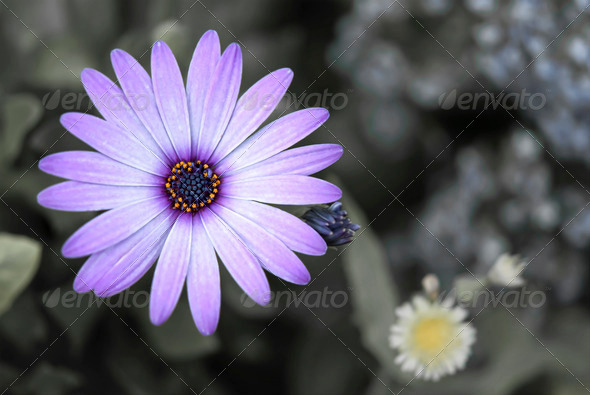 Purple Daisy - Stock Photo - Images