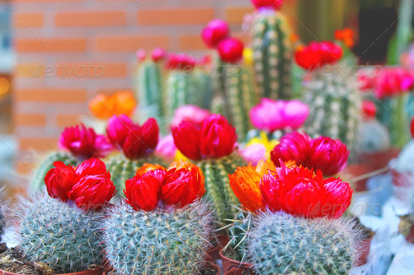 PhotoDune Flowering cacti in pots in a shop window 3665287
