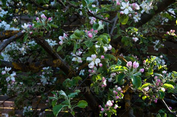 PhotoDune Apple Blossom 3668883