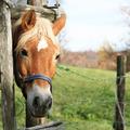 Blonde horse - PhotoDune Item for Sale