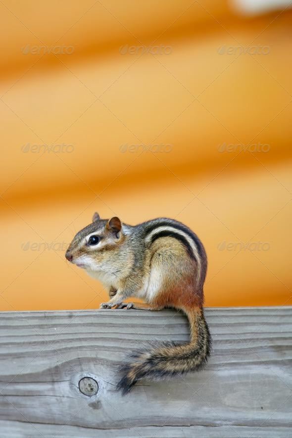 PhotoDune Adorable chipmunk sitting on log 3675674