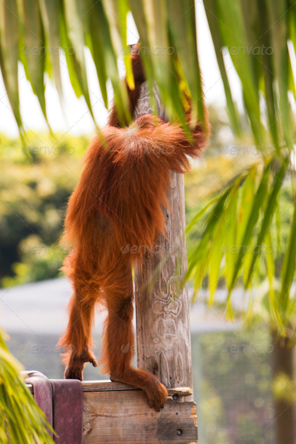 PhotoDune Orangutan People Watching 3675764
