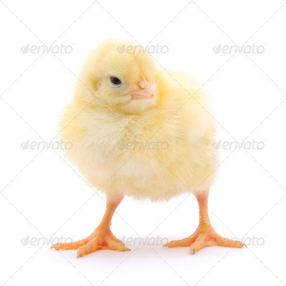 PhotoDune Small chicken 3675775