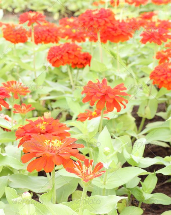PhotoDune Red zinnia flower in public garden 3675824
