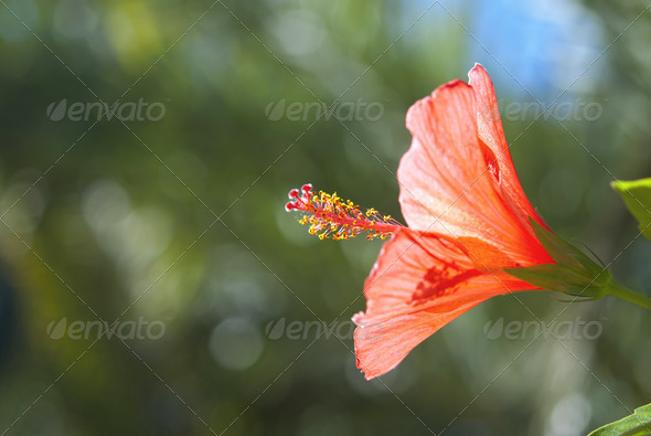 Red Hibiscus - Stock Photo - Images