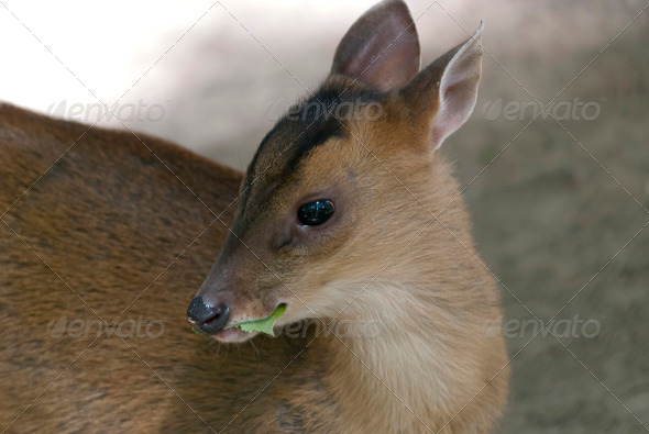 Little Muntjac - Stock Photo - Images