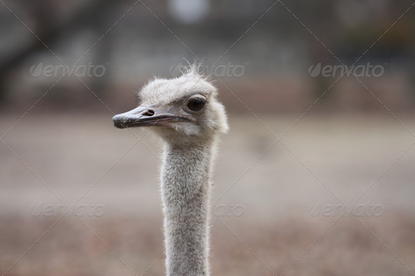 Ostrich Bird - Stock Photo - Images