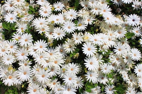 PhotoDune White daisies 3692208