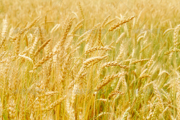 PhotoDune Grain field 3692294
