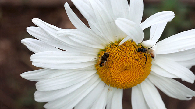 Insects on the big chamomile