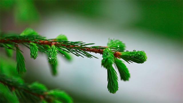 Wet spruce twig 2