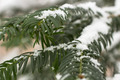 Pine Tree With Snow Close Up 02 - PhotoDune Item for Sale