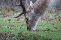 Close up Deer - PhotoDune Item for Sale