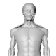 Professional Human Muscle System - 3DOcean Item for Sale
