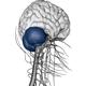 Complete Human Nerveus System - 3DOcean Item for Sale
