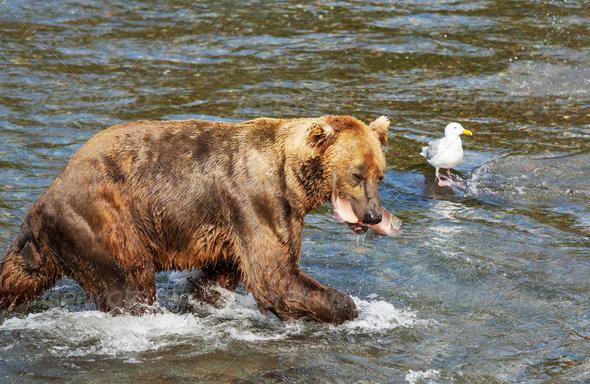 Bear on Alaska - Stock Photo - Images
