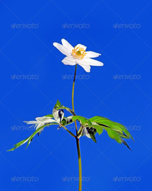 PhotoDune windflower 3706714