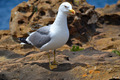 Seagull Close-up Pose - PhotoDune Item for Sale