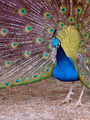 Male Peacock With Tail Opened Close-Up - PhotoDune Item for Sale