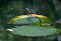 Big Dragonfly on a Waterlily Leaf - PhotoDune Item for Sale