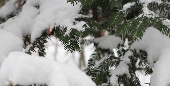 Pine Tree With Snow 02
