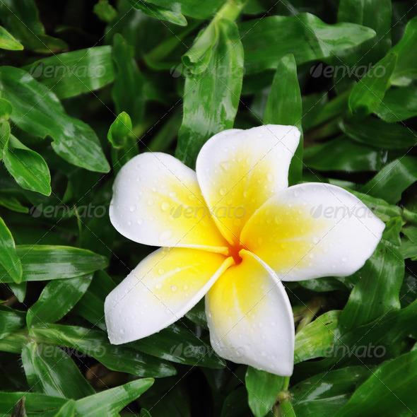 PhotoDune Frangipani flower on grass 3720072