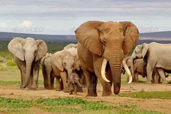 PhotoDune Elephant Herd 3720479