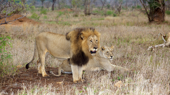 PhotoDune Lion and Lioness 3720480