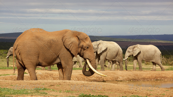 PhotoDune Drinking Elephant 3720477