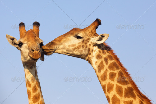 PhotoDune Kissing Giraffe 3720461