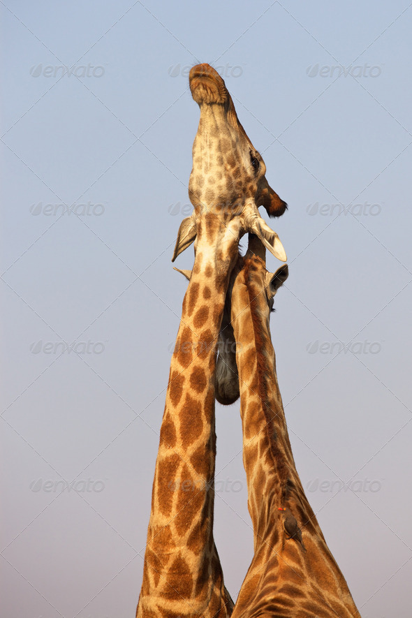 PhotoDune Necking Giraffe 3720467