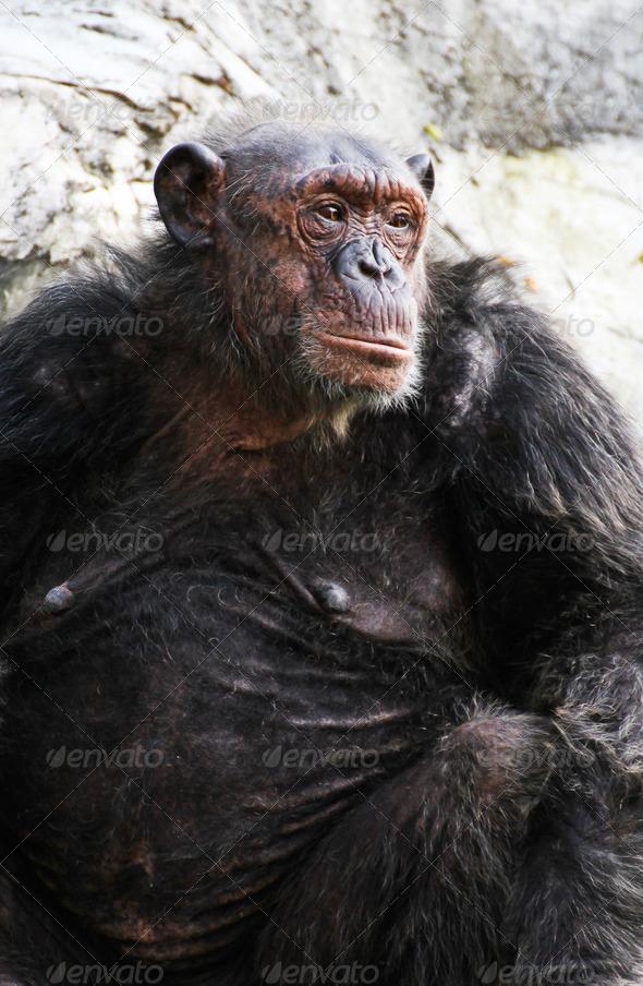 PhotoDune Chimpanzee 3720498