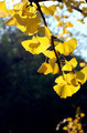 Ginkgo - PhotoDune Item for Sale