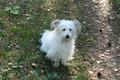Coton De Tulear - White Dog - PhotoDune Item for Sale