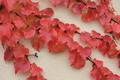 Red Autumn Maple Leaf - PhotoDune Item for Sale