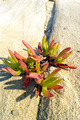 Ice Plant Leaves Growing In The Cracks Of A Rock - PhotoDune Item for Sale