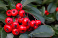 Red Winter Berries and Green Leaves - PhotoDune Item for Sale