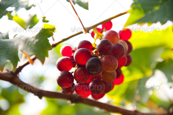 Grapes on Vine in Vineyard - Stock Photo - Images