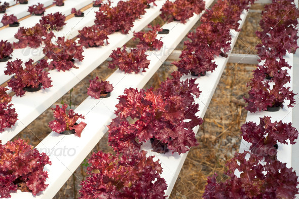 Hydroponic vegetable farm - Stock Photo - Images