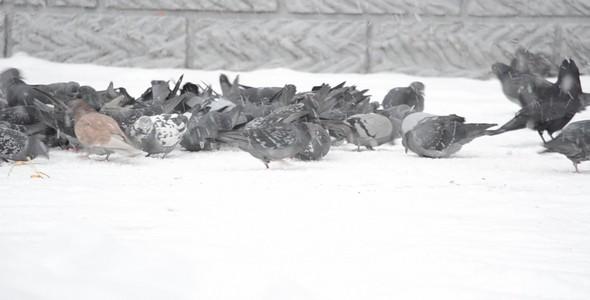Pigeons 57