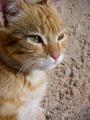Orange Cat - PhotoDune Item for Sale