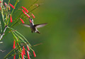 Vervain Hummingbird - PhotoDune Item for Sale