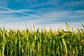 Wheat Field on Blue Sky - PhotoDune Item for Sale