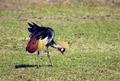 Grey Crowned Crane. The national bird of Uganda