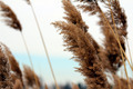 Tall Brown Reeds - PhotoDune Item for Sale